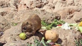 Το κουνέλι βουνών τρώει σε μια θέση προοριζόμενη για τη σίτιση φιλμ μικρού μήκους