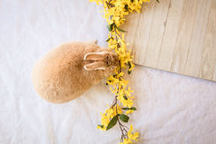 Το κουνέλι Πάσχας λαγουδάκι με το κίτρινο forsythia ανθίζει και ξύλινος πίνακας με το δωμάτιο για το αντίγραφο Στοκ εικόνα με δικαίωμα ελεύθερης χρήσης