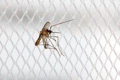 Το κουνούπι κάθεται σε μια κουρτίνα σε ένα παράθυρο Στοκ εικόνα με δικαίωμα ελεύθερης χρήσης