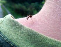 το κουνούπι κάθεται στο λαιμό Στοκ Φωτογραφίες