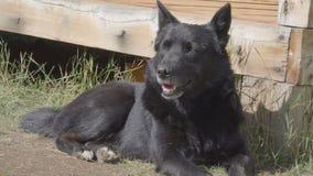 Το κουρασμένο σκυλί βρίσκεται την ηλιόλουστη ημέρα σκυλιών χλόης υπαίθρια, στηργμένος μαύρη απόθεμα βίντεο