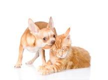 Το κουτάβι δαγκώνει το cat& x27 αυτί του s η ανασκόπηση απομόνωσε το λευκό Στοκ φωτογραφία με δικαίωμα ελεύθερης χρήσης