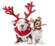 Το κουτάβι Αμερικανός φοβερίζει, chihuahua και Χριστούγεννα στοκ εικόνα