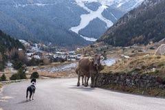 """Το κουτάβι κόλλεϊ συνόρων αντιμετωπίζει μια αγελάδα σε Vall δ """"Incles, Canillo, Ανδόρα στοκ φωτογραφία"""