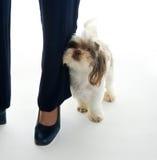 το κουτάβι μαμών αγάπης ποδιών τρίβει το s Στοκ Φωτογραφίες