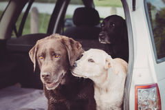 Το κουτάβι παρουσιάζει αγάπη στο σκυλί ενώ ένα άλλο σκυλί κοιτάζει επάνω στοκ εικόνες
