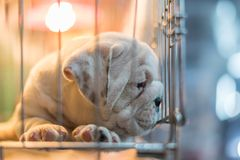 Το κουτάβι περιμένει στο κλουβί σκυλιών με την ελπίδα καταστημάτων κατοικίδιων ζώων στην ελευθερία στοκ εικόνα