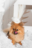 Το κουτάβι που γλείφει τη μύτη του στο χιόνι στο στούντιο Στοκ Φωτογραφία