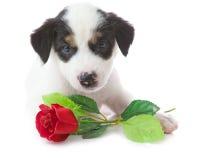 το κουτάβι σκυλιών αυξήθηκε Στοκ Φωτογραφίες