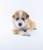 Το κουτάβι σκυλιών πορτρέτου απομονώνει Στοκ εικόνα με δικαίωμα ελεύθερης χρήσης