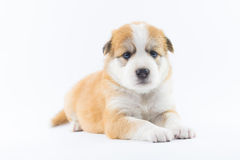Το κουτάβι σκυλιών πορτρέτου απομονώνει Στοκ εικόνες με δικαίωμα ελεύθερης χρήσης