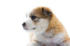 Το κουτάβι σκυλιών πορτρέτου απομονώνει Στοκ φωτογραφία με δικαίωμα ελεύθερης χρήσης