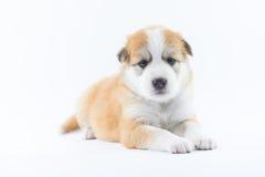 Το κουτάβι σκυλιών πορτρέτου απομονώνει Στοκ Φωτογραφία