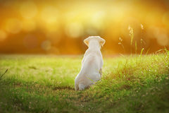 Το κουτάβι σκυλιών του Λαμπραντόρ στο λιβάδι από το ηλιοβασίλεμα με τα κινούμενα σχέδια κοιτάζει Στοκ εικόνα με δικαίωμα ελεύθερης χρήσης