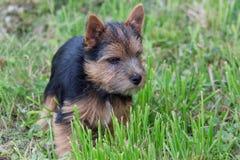 Το κουτάβι τεριέ του Νόργουιτς είναι playng σε ένα πράσινο λιβάδι Ζώα της Pet Στοκ φωτογραφίες με δικαίωμα ελεύθερης χρήσης