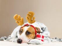 Το κουτάβι τεριέ Staffordshire ρίχνει μέσα το κάλυμμα και με τα κέρατα παιχνιδιών Χριστουγέννων ταράνδων στο κρεβάτι με το νέο έτ Στοκ Εικόνα
