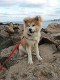 Το κουτάβι Akita χνουδωτό αντέχει τη θάλασσα Στοκ Φωτογραφία