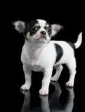 Το κουτάβι Chihuahua θέτει στο μαύρο υπόβαθρο Στοκ εικόνα με δικαίωμα ελεύθερης χρήσης