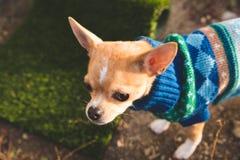 Το κουτάβι Chihuahua σε μια πίσω αυλή που θέτει με πλέκει το πουλόβερ Στοκ Φωτογραφίες