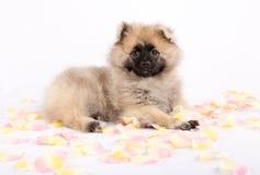 Το κουτάβι Pomeranian βρίσκεται Στοκ Εικόνες