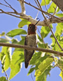Το κολίβριο της αρσενικής Anna που σκαρφαλώνει σε ένα δέντρο Στοκ Εικόνα