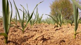 Το κρεμμύδι αυξάνεται στο ξηρό χώμα Στοκ Φωτογραφία