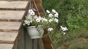 Το κρεμώντας δοχείο λουλουδιών με την άσπρη πετούνια ανθίζει το hybrida πετουνιών απόθεμα βίντεο