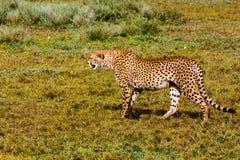 Το κυνήγι τσιτάχ Ndutu, Serengeti, Τανζανία Στοκ Φωτογραφία