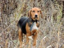 Το κυνηγόσκυλο Στοκ Φωτογραφία