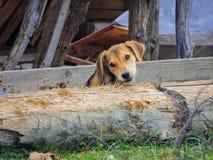 Το κυνηγόσκυλο Στοκ εικόνες με δικαίωμα ελεύθερης χρήσης