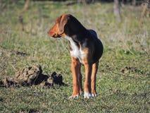 Το κυνηγόσκυλο Στοκ Εικόνα
