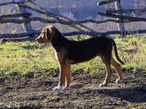 Το κυνηγόσκυλο Στοκ Εικόνες