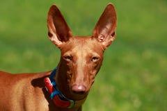 Το κυνηγόσκυλο Pharaoh στοκ εικόνες με δικαίωμα ελεύθερης χρήσης