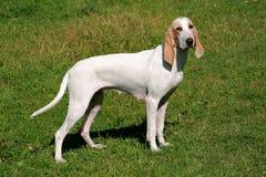 Το κυνηγόσκυλο Porcelaine καλλιεργεί την άνοιξη Στοκ εικόνες με δικαίωμα ελεύθερης χρήσης