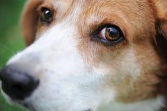 Το κυνηγόσκυλό μου από τη λίβρα Στοκ Φωτογραφία