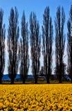 το κυπαρίσσι daffodils ανθίζει skagit τα δέντρα κίτρινα Στοκ εικόνες με δικαίωμα ελεύθερης χρήσης