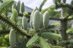 Το κωνοφόρο δέντρο pinsapo έλατων διακλαδίζεται σύνολο των βελόνων και με τους πράσινους ανώριμους κώνους στοκ φωτογραφίες