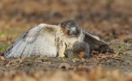 Το κόκκινος-παρακολουθημένο γεράκι μόλις επίασε έναν σκίουρο Στοκ εικόνα με δικαίωμα ελεύθερης χρήσης