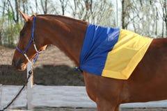 Το κόκκινο άλογο είναι περπάτημα, που καλύπτεται με την ουκρανική σημαία στοκ εικόνες