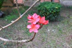 Το κόκκινο ή η έρημος λουλουδιών Plumeria αυξήθηκε όμορφος στο κοινό όνομα Apocynaceae, Frangipani, παγόδα, ναός δέντρων Στοκ εικόνα με δικαίωμα ελεύθερης χρήσης