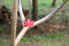Το κόκκινο ή η έρημος λουλουδιών Plumeria αυξήθηκε όμορφος στο κοινό όνομα Apocynaceae, Frangipani, παγόδα, ναός δέντρων Στοκ Εικόνες