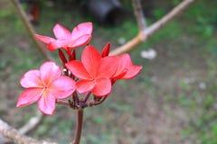 Το κόκκινο ή η έρημος λουλουδιών Plumeria αυξήθηκε όμορφος στο κοινό όνομα Apocynaceae, Frangipani, παγόδα, ναός δέντρων Στοκ φωτογραφία με δικαίωμα ελεύθερης χρήσης