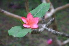 Το κόκκινο ή η έρημος λουλουδιών Plumeria αυξήθηκε όμορφος στο κοινό όνομα Apocynaceae, Frangipani, παγόδα, ναός δέντρων Στοκ Φωτογραφίες