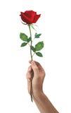 το κόκκινο ατόμων χεριών λουλουδιών αυξήθηκε Στοκ εικόνα με δικαίωμα ελεύθερης χρήσης