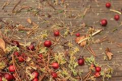 Το κόκκινο το βακκίνιο με το υγρό βρύο, ξεραίνει τα φύλλα και οι βελόνες πεύκων επιζητούν επάνω Στοκ εικόνες με δικαίωμα ελεύθερης χρήσης