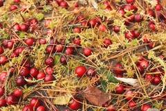 Το κόκκινο το βακκίνιο με το υγρό βρύο, ξεραίνει τα φύλλα και τις βελόνες πεύκων Στοκ Εικόνα