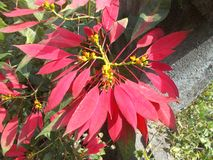 Το κόκκινο βγάζει φύλλα του φυτού Στοκ Φωτογραφίες