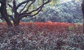 Το κόκκινο βγάζει φύλλα Στοκ εικόνες με δικαίωμα ελεύθερης χρήσης