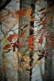 Το κόκκινο βγάζει φύλλα στοκ φωτογραφίες