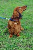 Το κόκκινο γερμανικό σκυλί ασβών πιπεροριζών κοιτάζει προς Στοκ εικόνα με δικαίωμα ελεύθερης χρήσης